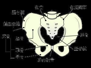 骨盤説明図